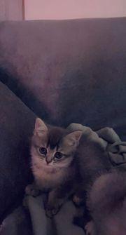 BKH Kätzchen Mädchen