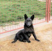 Schüchterne Gina kroatischer Schäferhund Mischlingswelpe