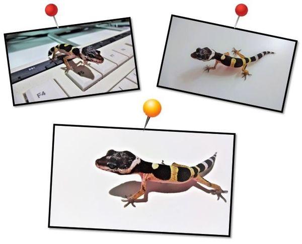 4 kleine 0. (0). 4 Leopardgeckos (07. 2021) abzugeben! ?