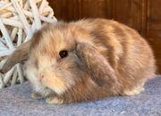 Kleine NHD Miniwidder Kaninchen Minilop