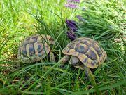 2 Griechische Landschildkröten THB