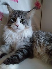 Maine Coon Kater in Silber