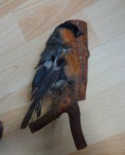 Singvogel Vogelpräparat zu verschenken