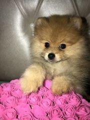 Pomeranian bo
