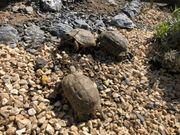 Maurische Landschildkröten Nachzuchten 2011-2020 aus