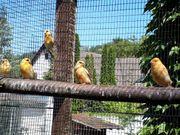 Kanarienvögel Vögel aus 2021 zu