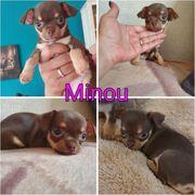 Chihuahua Hündin Minou
