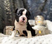 Boston Terrier Welpen zum verkaufen