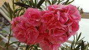 Oleander rosa gefüllt