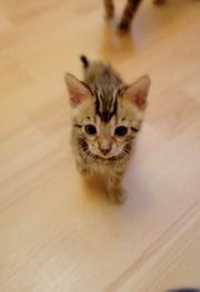 Süße Reinrassige Bengal Kitten