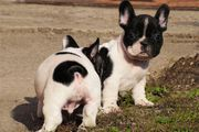 Wunderbar Französische Bulldogge