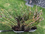 Schachtelhalm Bambus Sichtschutz Garten XXL