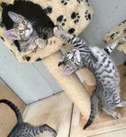 Wunderschöne Bengal Mix Kitten suchen