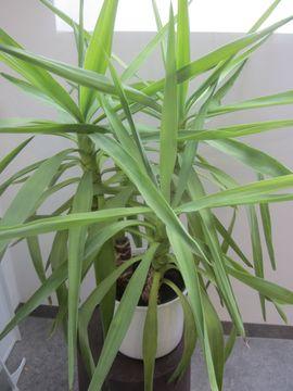 Bild 4 - Zimmerpflanzen Kentiapalme Begonie Einblatt Bogenhanf - München Schwabing-West