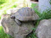 sehr großes Maurisches Landschildkröten Männchen