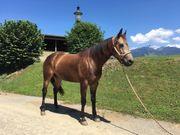 Verkaufspferd 6-jähriger QH Wallach