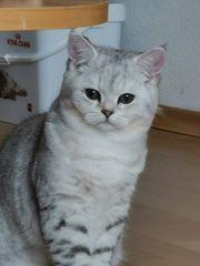 wunderschöne Kitten Babies BKH Stammb