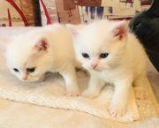 Weiße BKH Kitten