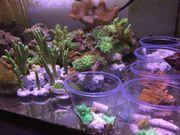 Korallen Ableger Korallenableger tolle Farben