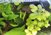 Wasserpflanzen Froschbiss