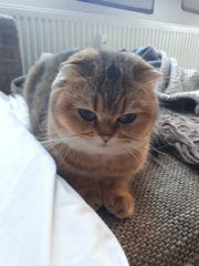Scottish Fold Katze erwachsen