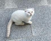 BKH SF Kitten abgabebereit
