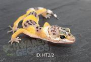 Leopardgeckos verschiedene Farbformen 2020