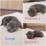 Kitten Brittisch Kurzhaar