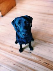 Athletischer Labrador Deckrüde in schwarz