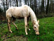 Quarter-Horse-Stute