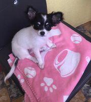 Chihuahua abzugeben
