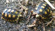 Köhlerschildkröten Nachzuchten