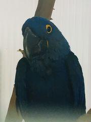 1 0 Blauara Hyazinth NZ