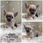 Chihuahua Welpen in blue schoko