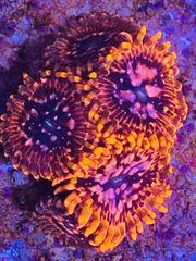 Utter chaos Zoanthus Krustenanemone Meerwasser