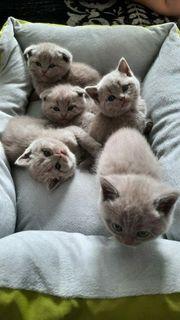 Putzige BKH Scottish Fold Kitten