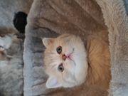 BKH Kitten mit Tollem Stammbaum