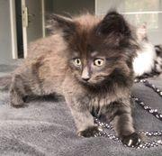 Wunderschönes Maine Coon Kitten