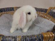 junges Kaninchen Zwergkaninchen Zwergwidder