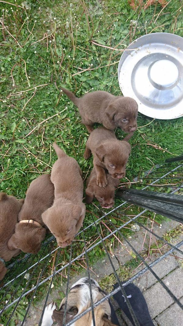 reinrassiger Labrador Welpe ab sofort