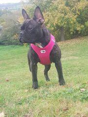 französisch Bulldogge weiblich