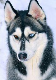 Sibiren Husky Welpe Rüde gesucht