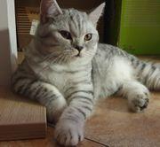 Whiskas-Luk Britisch Kurzhaar BKH Kitten