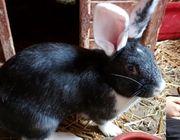 Deutsche Riese Mix Häsin - Kaninchen -