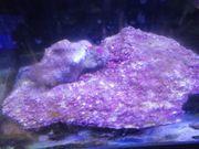 Real Reef Rock Platte Shell