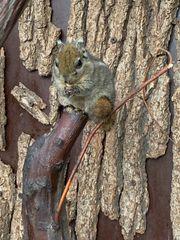 Baumstreifenhörnchen m
