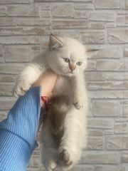 BKH Kitten Super süße Kitten