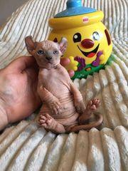 Katze Nacktkatze Sphynx Elfen Kitten