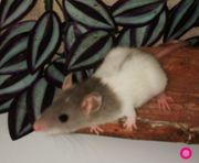 Liebevolle Rattenmädels