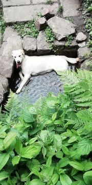 1-jähriger Labrador Golden Retriever